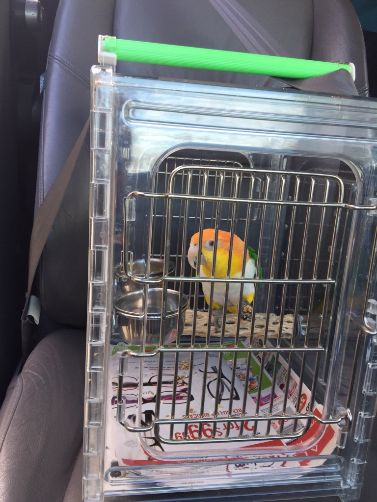 White Bellied Caique in his carrier secured by a seat belt in the front seat of car