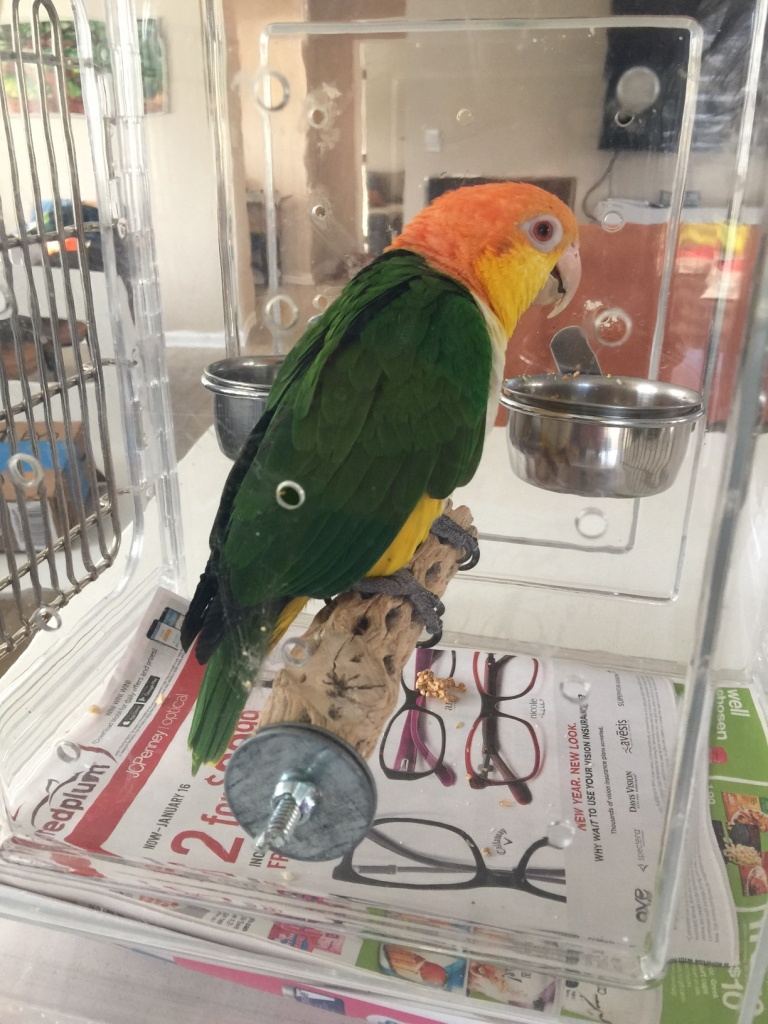 A White Bellied Caique perched in an acrylic carrier and eating treats
